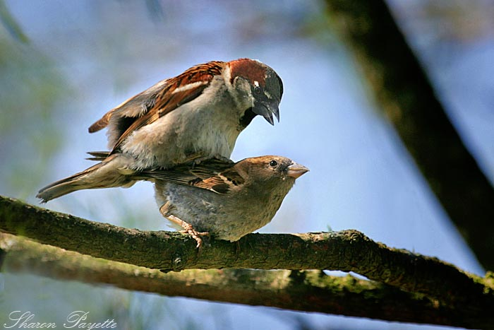 How do birds mate - photo#22